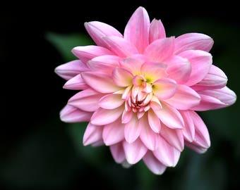Pink Dahlia Print, Dhalia, Print, Flower, Flower Print, Pink, Yellow, Green, Flower Art, Wall Art, Flower Wall Art