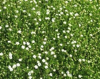 Irish Moss Plant Seeds/Sagina Subulata/Perennial    60+