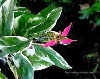 """6 (hard to find) Devils Backbone (Pedilanthus Tithymaloides Variegated) Un-rooted Cuttings with """"FREE"""" Shipping!!!"""