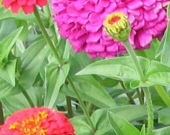 100 HEIRLOOM Zinnia California Giant Mix seeds