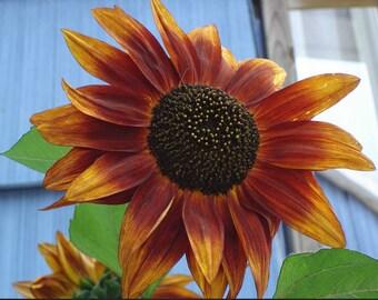 Velvet Sunflower  Heirloom flower seeds