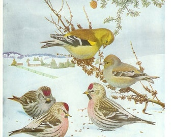 1936 Bird Print - Plates 77 & 78 - Winter Goldfinch - Vintage Antique Art Illustration by Louis Agassiz Fuertes 75 Years Old
