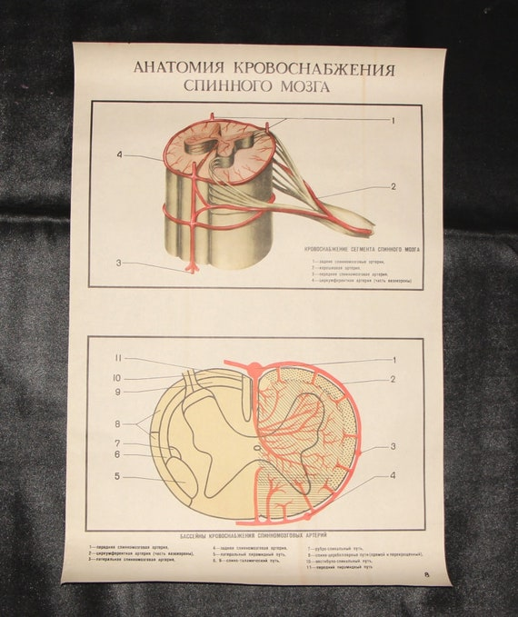 Anatomy Poster Medical Student Anatomy Of The Blood Supply To