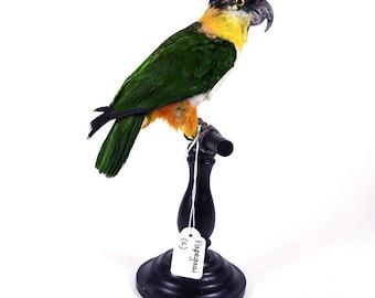 Mounted birds for sale! Opgezette parkiet te koop! (A) Taxidermy