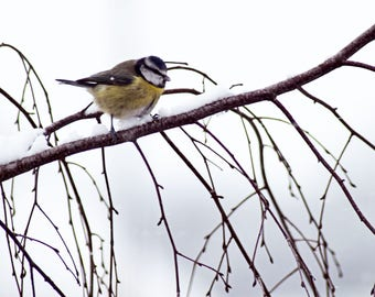 Blue Tit in the Snow, Snow, Shropshire, Photography Print - 12x8 inches.