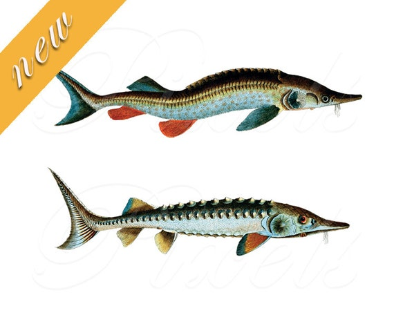 fish sturgeon fish clipart fishes fish images instant download rh etsystudio com White Sturgeon Clip Art Gulf Sturgeon Clip Art