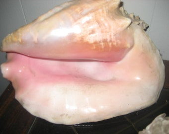 "Large Jamaican Conch Shell 10"" wide"