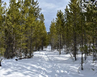 Pine trees during winter in the Rocky Mountains