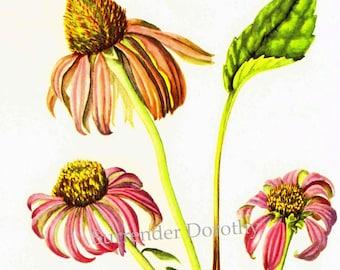 Echinacea Purple Coneflower 1950s Flower Vintage Botanical Lithograph Art Print To Frame 221