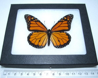 Real orange black north american monarch Danaus Plexipus framed butterfly insect