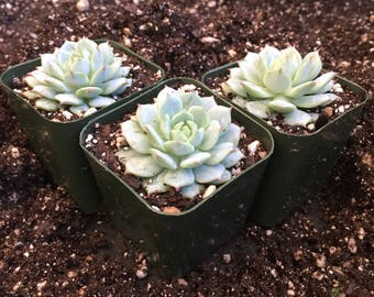 "2"" Succulent - Painted Lady"
