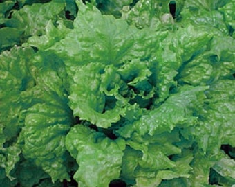 3,000 Lettuce Seeds Leaf Salad Bowl Green