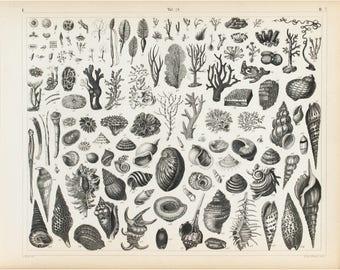 Sea Shells Sea Life Antique Print 1857