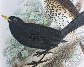 1896 Songthrush & Blackbird Original Antique Chromolithograph - Bird - Ornithology - Mounted and Matted - Wall Decor - Decorative Print