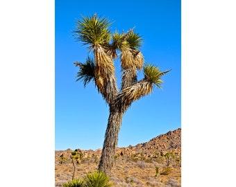 Joshua Tree at Joshua Tree National Park California Fine Art Photography Yucca Palm