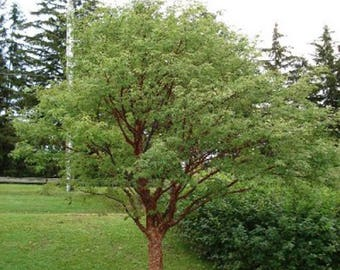 100 Paperbark Maple Tree Seeds, Acer Griseum