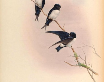 Nepal House Martin (Delichon nipalense) exotic bird print from Birds of Asia by John Gould reproduction print