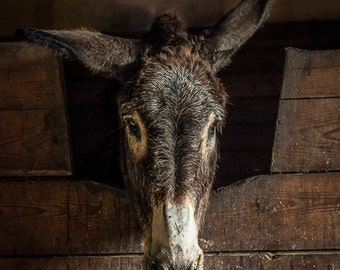 Bobby Donkey, Farm Animal Rescue Portrait Photography