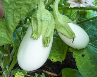 White Eggplant Seeds - Approx 100 Seeds - TheGreenGroup Eco-Products -Great Tasting Home Gardening Allotments Vegetarian Affordable Healthy
