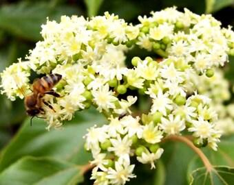 Seeds, Honey Tree, Evodia tetradium danielli, Beekeeping, Bees
