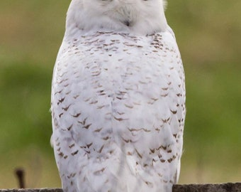 Snowy Owl in Central Ky. #2309