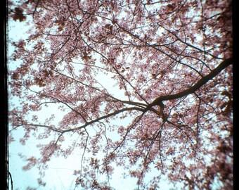 Pink Blue Blooms Photograph--Springtime Cherry Blossoms--TTV Fine Art