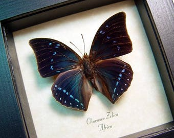Real Framed Beautiful Blue Charaxes Zelica Untailed Butterfly 683