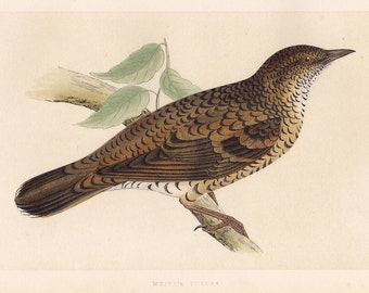 White's Thrush print . original antique bird plate woodblock . vol III,  old vintage dated 1853