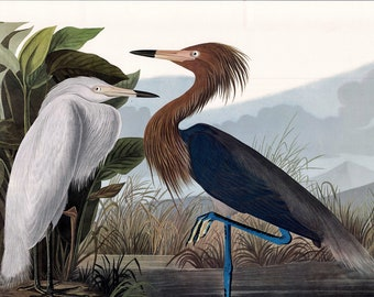 Purple Heron, Reddish Egret, Audubon art