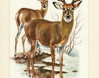 Vintage lithograph of the white-tailed deer from 1956