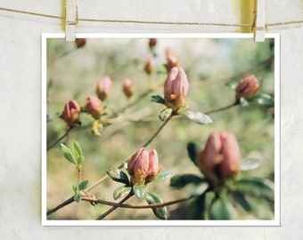 Waiting to Bloom - botanical photography, fine art film photograph, pink flower photography, nature photography, pink azalea photography