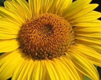 Sunflower - Home Fragrance Oil - Warmer / Burner Oil - 2 Fluid Ounces
