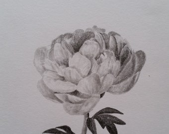 Graphite pencil drawing - 'Peony'