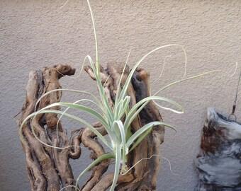 Tillandsia Straminea Air Plants