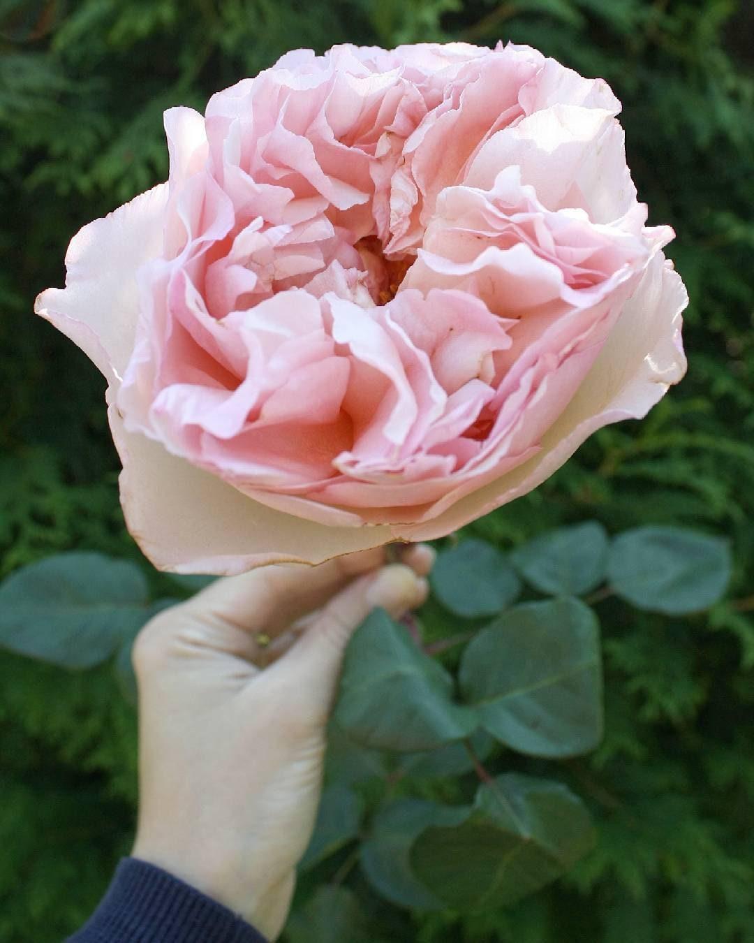 25 Princess Charlene De Monaco Hybrid Tea Rose