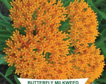 Butterfly Milkweed (Asclepias tuberosa) - 75 seeds