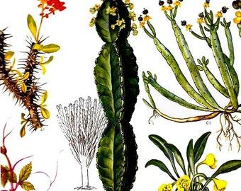 Euphorbia Cactus Flowering Plant Tropical Central Africa Botanical Exotica Poster Print 1969 Large Vintage Illustration To Frame 58
