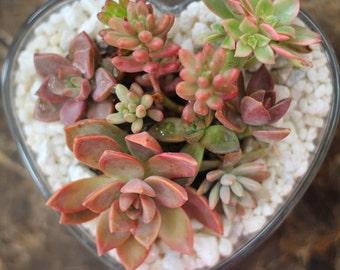 Succulent Terrarium Centerpiece, REAL LIVE PLANTS