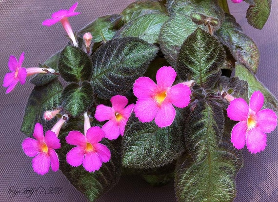 Small episcia pink panther a beautifully patterned flame violet small episcia pink panther a beautifully patterned flame violet gesneriad with pink tubular flowers easy to grow with stolens mightylinksfo