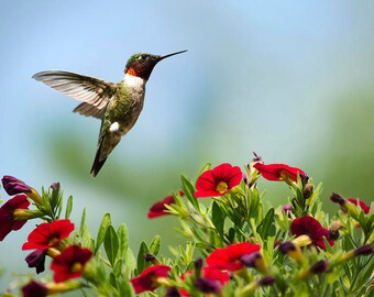 Hummingbird Photo, Bird Print, Nature Photography, Hummingbird Print, Wildlife Prints, Bird Photography, Hummingbird Wall Art, Country Decor