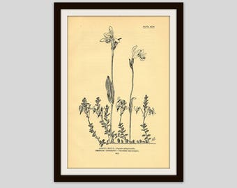 """Rustic Flower Print, Wildflower Art, Antique Botanical Illustration, 5 x 7.75"""", Vintage Wall Art, Adders Mouth, American Cranberry (217)"""