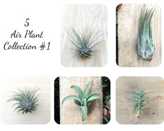 5 Tillandsia air plant Sampler Collection #1 - New!