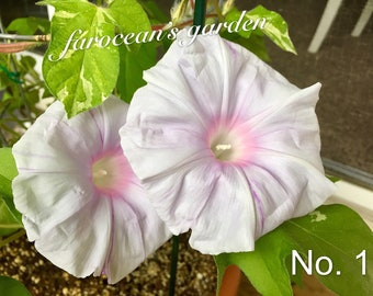 "Rare Japanese Morning Glory Seeds (4 inch flowers) (""Heavenly Blue"" as complimentary seeds)"