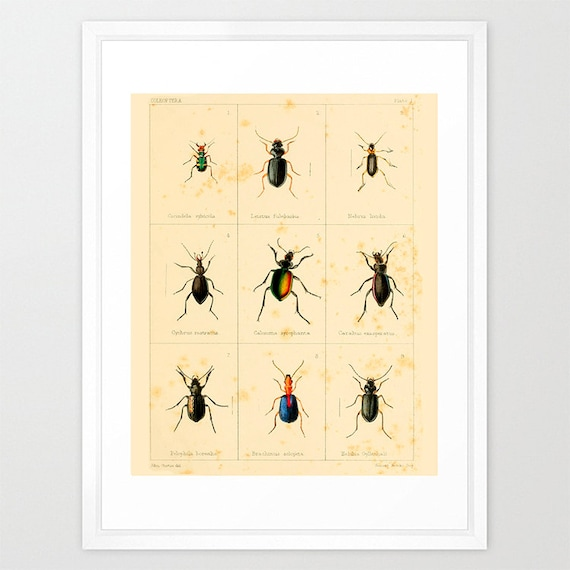 Insect Poster - Bug Poster - Antique Insect Print - Insect Art - Insect Wall Art - Bugs - Vintage Insects - Insect Art Print