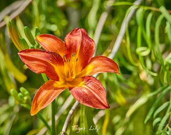 Tiger Lily - A7 Fine Art Note Card