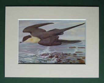 1930s Antique Ornithology Picture of a Long-Tailed Jaeger in Flight by Natural History Artist Allen W Seaby