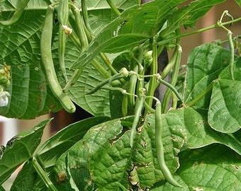 McCaslan Pole Beans Heirloom Garden Seed Non-GMO 100+ Seeds Stringless Fresh Bean Flavor Open Pollinated Gardening