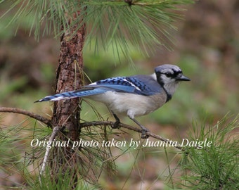 ID1107  8x10 Bird Photograph Print  of a Blue Jay Sitting in a Small Pine Tree