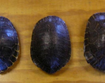 """3 Large 8"""" River Cooter Turtle Shells"""