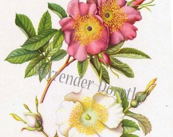 Cherokee & Swamp Rose Wild Roses Flowers Vintage Botanical Lithograph 1950s Vintage Art Print To Frame 88